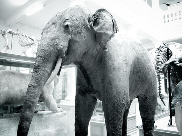 Comme l'institution pétrifiée, la carcasse naturalisée d'un éléphant du Muséum d'Histoire Naturelle de Bucarest simule le vivant | Photo © David Noir
